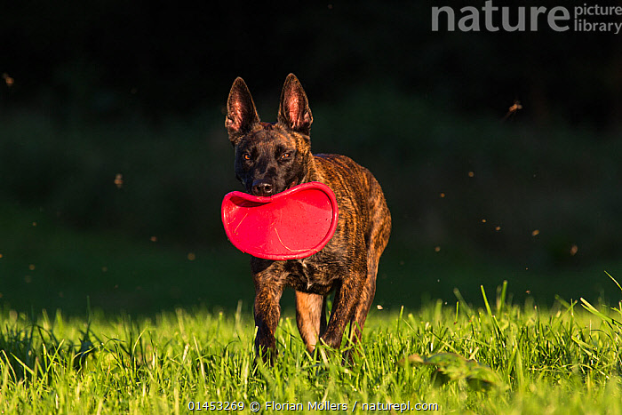 Dutch shepherd and Malinois Herder crossbreed playing with frisbee, Germany, September., CANIS FAMILIARIS,EUROPE,WESTERN EUROPE,WEST EUROPE,GERMANY,ANIMAL,CROSSBREEDS,MIXED BREED,MIXED BREEDS,OUTDOORS,OPEN AIR,OUTSIDE,ANIMAL BEHAVIOUR,PLAYING,DOMESTIC ANIMAL,PET,BEHAVIOUR,DOMESTIC DOG,DOMESTIC ANIMALS,DOMESTICATED,PLAYS,PLAY,PLAYFUL,CANIS FAMILIARIS,Communication, Florian Möllers