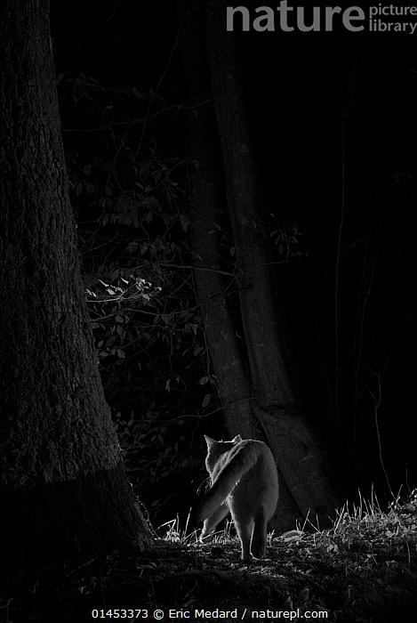 Feral cat (Felis catus) at night, taken with infra-red remote camera trap, France, November., catalogue6,Walking,Alone,Solitude,Solitary,Stealth,No One,Nobody,Europe,Western Europe,France,Black And White,B/W,Monochromatic,Rear View,Back,From Behind,Lighting Technique,Animal,Plant,Tree Trunk,Outdoors,Open Air,Outside,Night,Nocturnal,Woodland,Forest,Domestic animals,Domesticated,Infrared,IR,Feral,Feral cat,Felis catus,Fed up,Departure,Bad mood,Disinterest, Eric  Medard