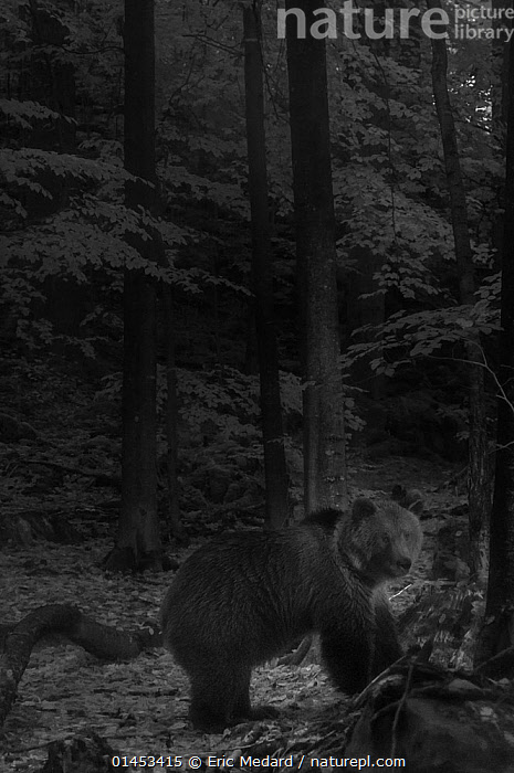 European brown bear (Ursus arctos arctos) walking through forest at night, taken with infra red remote camera trap, Slovenia, October., catalogue6,Animal,Vertebrate,Mammal,Carnivore,Bear,Brown Bear,European brown bear,Animalia,Animal,Wildlife,Vertebrate,Chordate,Mammalia,Mammal,Carnivora,Carnivore,Ursidae,Bear,Ursus,Ursus arctos,Brown Bear,Standing,Mood,No One,Nobody,Europe,Southern Europe,South Europe,Slovenia,Full Length,Full Lengths,Whole,Side View,Lighting Technique,Outdoors,Open Air,Outside,Night,Nocturnal,Woodland,Forest,European brown bear,Infrared,IR,Greyscale, Eric  Medard