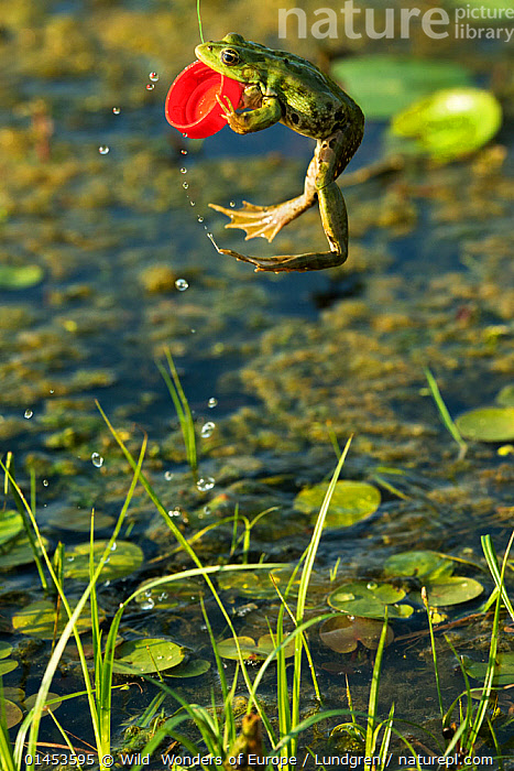 Marsh frog (Pelophylax ridibundus) jumping and biting onto plastic bottle lid, Danube Delta, Romania, June.  ,  ANIMAL,VERTEBRATE,FROG,GREEN FROG,EURASIAN MARSH FROG,ANIMALIA,ANIMAL,WILDLIFE,VERTEBRATE,CHORDATE,AMPHIBIA,ANURA,FROG,RANIDAE,PELOPHYLAX,GREEN FROG,WATER FROG,PELOPHYLAX RIDIBUNDUS,EURASIAN MARSH FROG,MARSH FROG,RANA RIDIBUNDA,PELOPHYLAX RIDIBUNDA,JUMPING,LEAPING,MID AIR,EUROPE,EASTERN EUROPE,EAST EUROPE,ROMANIA,RUMANIA,PLANT,PLANTS,VEGETATION,WATER LILY FAMILY,LILYPAD,LILYPADS,WATER LILIES,LID,LIDS,FLOWING WATER,RIVER,RIVERS,FRESHWATER,WATER,TEMPERATE,WWE,REWILDING  ,  Wild  Wonders of Europe / Lundgren