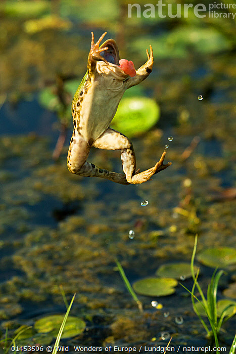 Marsh frog (Pelophylax ridibundus) jumping, Danube Delta, Romania, June.  ,  ANIMAL,VERTEBRATE,FROG,GREEN FROG,EURASIAN MARSH FROG,ANIMALIA,ANIMAL,WILDLIFE,VERTEBRATE,CHORDATE,AMPHIBIA,ANURA,FROG,RANIDAE,PELOPHYLAX,GREEN FROG,WATER FROG,PELOPHYLAX RIDIBUNDUS,EURASIAN MARSH FROG,MARSH FROG,RANA RIDIBUNDA,PELOPHYLAX RIDIBUNDA,JUMPING,LEAPING,MID AIR,EUROPE,EASTERN EUROPE,EAST EUROPE,ROMANIA,RUMANIA,PLANT,PLANTS,VEGETATION,WATER LILY FAMILY,LILYPAD,LILYPADS,WATER LILIES,FLOWING WATER,RIVER,RIVERS,FRESHWATER,WATER,TEMPERATE,WWE,REWILDING  ,  Wild  Wonders of Europe / Lundgren