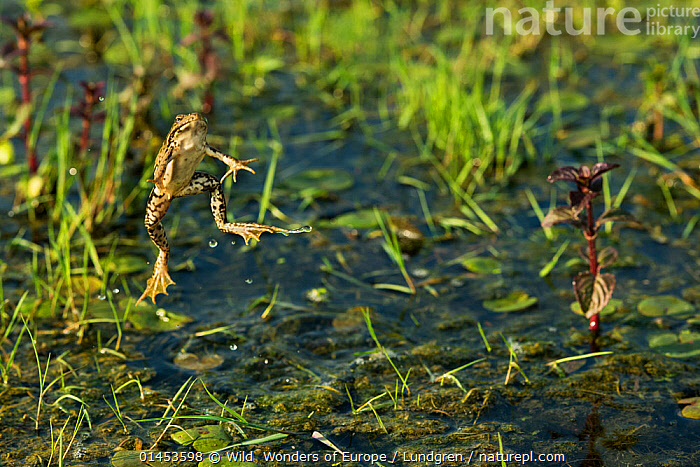 Marsh frogs (Pelophylax ridibundus) jumping, one with its mouth open, Danube Delta, Romania, June.  ,  ANIMAL,VERTEBRATE,FROG,GREEN FROG,EURASIAN MARSH FROG,ANIMALIA,ANIMAL,WILDLIFE,VERTEBRATE,CHORDATE,AMPHIBIA,ANURA,FROG,RANIDAE,PELOPHYLAX,GREEN FROG,WATER FROG,PELOPHYLAX RIDIBUNDUS,EURASIAN MARSH FROG,MARSH FROG,RANA RIDIBUNDA,PELOPHYLAX RIDIBUNDA,JUMPING,LEAPING,MID AIR,EUROPE,EASTERN EUROPE,EAST EUROPE,ROMANIA,RUMANIA,FLOWING WATER,RIVER,RIVERS,FRESHWATER,WATER,TEMPERATE,WWE,REWILDING  ,  Wild  Wonders of Europe / Lundgren