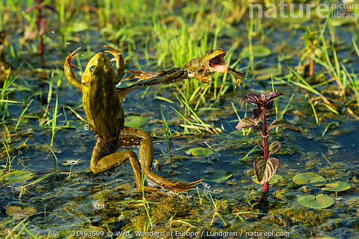 Marsh frog (Pelophylax ridibundus) jumping, Danube Delta, Romania, June.  ,  ANIMAL,VERTEBRATE,FROG,GREEN FROG,EURASIAN MARSH FROG,ANIMALIA,ANIMAL,WILDLIFE,VERTEBRATE,CHORDATE,AMPHIBIA,ANURA,FROG,RANIDAE,PELOPHYLAX,GREEN FROG,WATER FROG,PELOPHYLAX RIDIBUNDUS,EURASIAN MARSH FROG,MARSH FROG,RANA RIDIBUNDA,PELOPHYLAX RIDIBUNDA,JUMPING,LEAPING,MID AIR,HUMOUR,COMEDY,ENTERTAINING,FUNNY,HUMOROUS,HUMOR,HUMOUROUS,JOKE,JOKES,EUROPE,EASTERN EUROPE,EAST EUROPE,ROMANIA,RUMANIA,FLOWING WATER,RIVER,RIVERS,FRESHWATER,WATER,TEMPERATE,WWE,REWILDING,Concepts  ,  Wild  Wonders of Europe / Lundgren