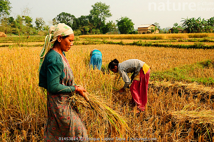 Women reaping the harvest in the fields adjacent to the Royal Bardia National Park, Nepal, October 2011.  ,  catalogue6,Reaping,Reaps,Working,People,Asian,Asians,Indian Subcontinent Ethnicities,Nepalese,Adult,Adults,Mid Adult,Mid Adults,Mid Adult,Mid Adults,Female,Woman,Young Adult Woman,Young Adult Women,Young Women,Togetherness,Close,Together,Group,Group Of People,Small Group Of People,Few,Asia,Indian Subcontinent,Nepal,Horizontal,Plant,Arable Plant,Arable Plants,Crops,Produce,Cultivated,Cultivation,Object,Clothing,Headdress,Headscarf,Headscarfes,Headscarfs,Headscarves,Cultivated Land,Fields,Countryside,Reserve,Farmland,Protected area,National Park,Women at Work,Bending,Bending forwards,Royal Bardia National Park,Rural Life  ,  Enrique Lopez-Tapia