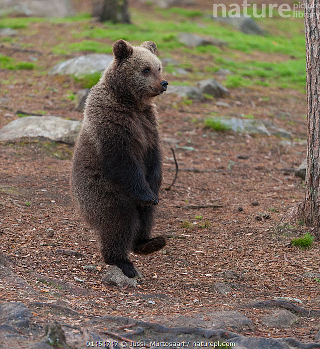 European brown bear (Ursus arctos arctos) standing on one foot, northern Finland, May., catalogue6,Animal,Vertebrate,Mammal,Carnivore,Bear,Brown Bear,European brown bear,Animalia,Animal,Wildlife,Vertebrate,Chordate,Mammalia,Mammal,Carnivora,Carnivore,Ursidae,Bear,Ursus,Ursus arctos,Brown Bear,Walking,Standing,On One Leg,Stand On One Leg,Standing On One Leg,Stands On One Leg,Balance,Humorous,On The Move,No One,Nobody,Europe,Northern Europe,North Europe,Nordic Countries,Finland,Full Length,Full Lengths,Whole,Side View,Rock,Outdoors,Open Air,Outside,Day,Woodland,Forest,European brown bear,Moving,Forest floor,Scandinavia,Concepts, Jussi  Murtosaari