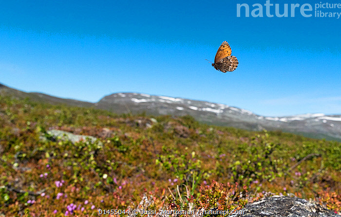 Norse Grayling butterfly (Oeneis norna) flying in habitat, Lapland, Finland, July., catalogue6,Animal,Arthropod,Insect,Brushfooted butterfly,Norse Grayling,Animalia,Animal,Wildlife,Hexapoda,Arthropod,Invertebrate,Hexapod,Arthropoda,Insecta,Insect,Lepidoptera,Lepidopterans,Nymphalidae,Brushfooted butterfly,Fourfooted butterfly,Nymphalid,Butterfly,Papilionoidea,Flying,Direction,Speed,No One,Nobody,Europe,Northern Europe,North Europe,Nordic Countries,Finland,Close Up,Side View,Hill,Hills,Hillside,Hillsides,Mountain,Sky,Clear Sky,Outdoors,Open Air,Outside,Day,Habitat,Norse Grayling,Flight,Blue sky,Lapland,Upward,Scandinavia, Jussi  Murtosaari