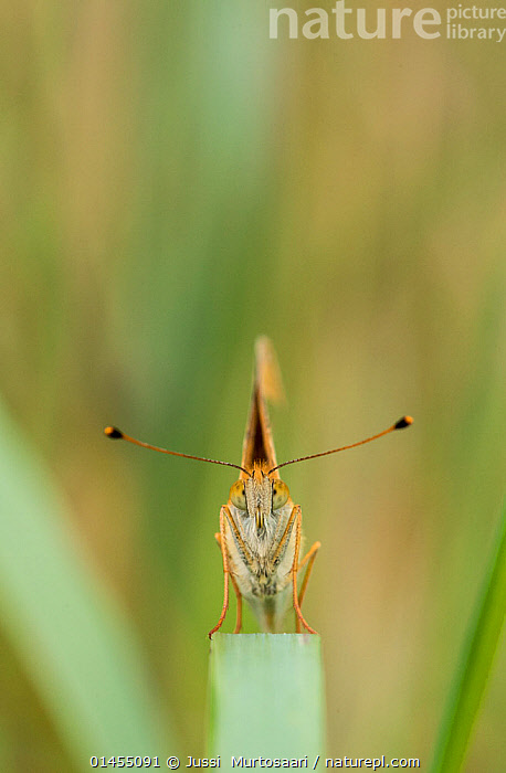 Pallas Fritillary (Argynnis laodice) portrait of female head on, southern Finland, August., catalogue6,Animal,Arthropod,Insect,Brushfooted butterfly,Fritillary,Pallas&#39, Fritillary,Animalia,Animal,Wildlife,Hexapoda,Arthropod,Invertebrate,Hexapod,Arthropoda,Insecta,Insect,Lepidoptera,Lepidopterans,Nymphalidae,Brushfooted butterfly,Fourfooted butterfly,Nymphalid,Butterfly,Papilionoidea,Argynnis,Fritillary,Longwing,Heliconian,Heliconninae,Balance,Confusion,Bewildered,Confused,Curiosity,No One,Nobody,Europe,Northern Europe,North Europe,Nordic Countries,Finland,Close Up,Front View,View From Front,Portrait,Female animal,Animal Eye,Animal Eyes,Eye,Eyes,Antennae,Outdoors,Open Air,Outside,Day,Pallas&#39, Fritillary,Sensory organ,Scandinavia, Jussi  Murtosaari