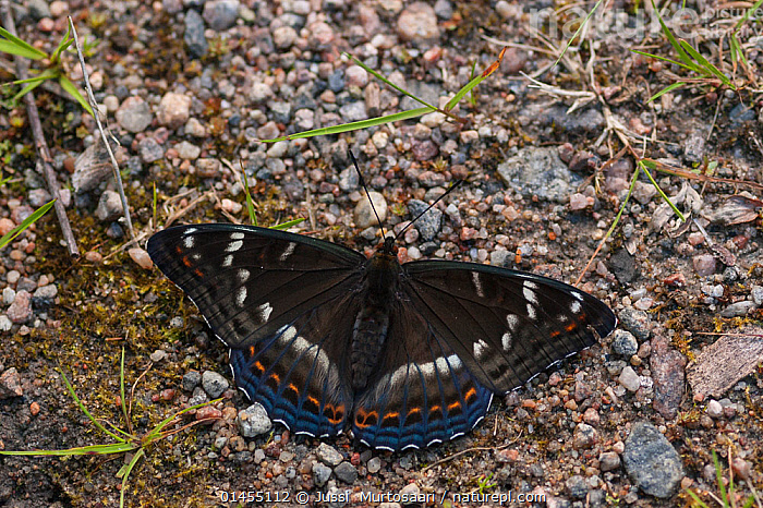 Poplar Admiral butterfly (Limenitis populi) male puddling on road, central Finland, June  ,  ANIMAL,ARTHROPOD,INSECT,BRUSHFOOTED BUTTERFLY,ADMIRAL,POPLAR ADMIRAL BUTTERFLY,ANIMALIA,ANIMAL,WILDLIFE,HEXAPODA,ARTHROPOD,INVERTEBRATE,HEXAPOD,ARTHROPODA,INSECTA,INSECT,LEPIDOPTERA,LEPIDOPTERANS,NYMPHALIDAE,BRUSHFOOTED BUTTERFLY,BRUSH FOOTED BUTTERFLY,FOUR FOOTED BUTTERFLY,FOURFOOTED BUTTERFLY,NYMPHALID,BUTTERFLY,PAPILIONOIDEA,LIMENITIS,ADMIRAL,LIMENITIS POPULI,POPLAR ADMIRAL BUTTERFLY,PAPILIO POPULI,EUROPE,NORTHERN EUROPE,NORTH EUROPE,NORDIC COUNTRIES,FINLAND,MALE ANIMAL,MALE,MALES,MALE ANIMALS,ANIMAL BEHAVIOUR,DRINKING,BEHAVIOUR,DRINK,DRINKS,Scandinavia  ,  Jussi  Murtosaari