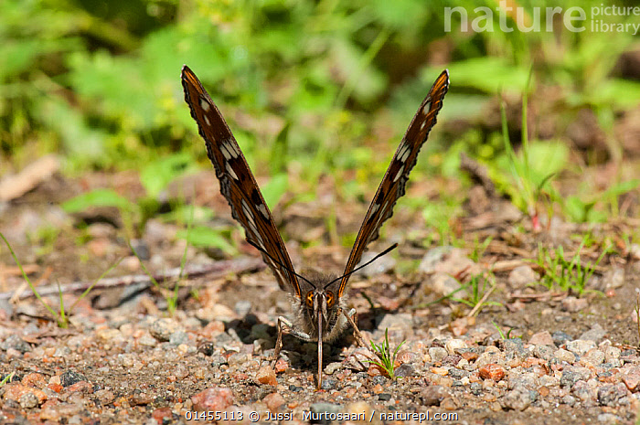 Poplar Admiral butterfly (Limenitis populi) male puddling on road, central Finland, June.  ,  ANIMAL,ARTHROPOD,INSECT,BRUSHFOOTED BUTTERFLY,ADMIRAL,POPLAR ADMIRAL BUTTERFLY,ANIMALIA,ANIMAL,WILDLIFE,HEXAPODA,ARTHROPOD,INVERTEBRATE,HEXAPOD,ARTHROPODA,INSECTA,INSECT,LEPIDOPTERA,LEPIDOPTERANS,NYMPHALIDAE,BRUSHFOOTED BUTTERFLY,BRUSH FOOTED BUTTERFLY,FOUR FOOTED BUTTERFLY,FOURFOOTED BUTTERFLY,NYMPHALID,BUTTERFLY,PAPILIONOIDEA,LIMENITIS,ADMIRAL,LIMENITIS POPULI,POPLAR ADMIRAL BUTTERFLY,PAPILIO POPULI,EUROPE,NORTHERN EUROPE,NORTH EUROPE,NORDIC COUNTRIES,FINLAND,MALE ANIMAL,MALE,MALES,MALE ANIMALS,ANIMAL BEHAVIOUR,DRINKING,BEHAVIOUR,DRINK,DRINKS,Scandinavia  ,  Jussi  Murtosaari