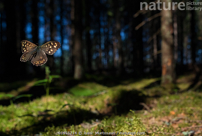 Speckled Wood (Pararge aegeria) male flying in habitat, Finland, April.  ,  catalogue6,Animal,Arthropod,Insect,Brushfooted butterfly,Satyrine,Speckled wood,Animalia,Animal,Wildlife,Hexapoda,Arthropod,Invertebrate,Hexapod,Arthropoda,Insecta,Insect,Lepidoptera,Lepidopterans,Nymphalidae,Brushfooted butterfly,Fourfooted butterfly,Nymphalid,Butterfly,Papilionoidea,Pararge,Satyrine,Satyrid,Brown,Satyrinae,Pararge aegeria,Speckled wood,Specked wood,Flying,Freedom,Independence,Independent,Colour,No One,Nobody,Europe,Northern Europe,North Europe,Nordic Countries,Finland,Male Animal,Light,Lights,Shadow,Sunlight,Outdoors,Open Air,Outside,Day,Woodland,Habitat,Forest,Flight,Scandinavia  ,  Jussi  Murtosaari