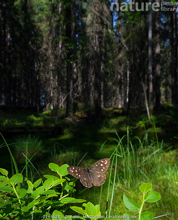 Speckled Wood (Pararge aegeria) male in habitat, Finland, April., catalogue6,Animal,Arthropod,Insect,Brushfooted butterfly,Satyrine,Speckled wood,Animalia,Animal,Wildlife,Hexapoda,Arthropod,Invertebrate,Hexapod,Arthropoda,Insecta,Insect,Lepidoptera,Lepidopterans,Nymphalidae,Brushfooted butterfly,Fourfooted butterfly,Nymphalid,Butterfly,Papilionoidea,Pararge,Satyrine,Satyrid,Brown,Satyrinae,Pararge aegeria,Speckled wood,Specked wood,Flying,Adventure,Adventures,Adventurous,Independence,Independent,Colour,No One,Nobody,Europe,Northern Europe,North Europe,Nordic Countries,Finland,Male Animal,Plant,Leaf,Foliage,Wing,Wings,Light,Lights,Sunlight,Outdoors,Open Air,Outside,Day,Exploration,Woodland,Habitat,Forest,Flight,Wings spread,Wingspan,Scandinavia, Jussi  Murtosaari