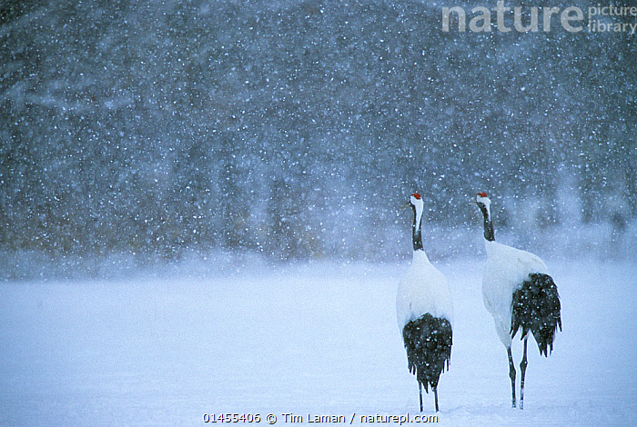 Red-crowned crane (Grus japonensis) pair in a snowstorm, Hokkaido, Japan. Endangered species.  ,  catalogue6,Animal,Vertebrate,Birds,Crane,Japanese crane,Animalia,Animal,Wildlife,Vertebrate,Chordate,Aves,Birds,Gruiformes,Gruidae,Crane,Grus,Grus japonensis,Japanese crane,Red crowned crane,Manchurian crane,Standing,Thinking,Partnership,Colour,Black,White,Side By Side,,Temperature,Cold,Chill,Chilly,Asia,East Asia,Japan,Copy Space,Rear View,Back,From Behind,Snow,Weather,Precipitation,Snowing,Snowfall,Outdoors,Open Air,Outside,Winter,Day,Biodiversity hotspots,Biodiversity hotspot,Two animals,Contemplation,White colour,Wondering,Endangered species,threatened,Endangered  ,  Tim  Laman