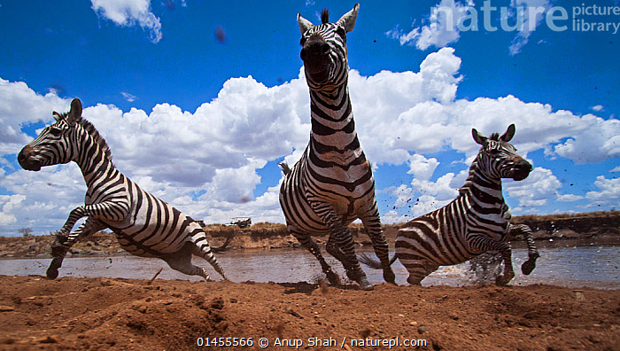 Common or Plains zebra herd crossing the Mara River - wide angle perspective (Equus quagga burchellii). Masai Mara National Reserve, Kenya. Taken with remote wide angle camera., catalogue6,Animal,Vertebrate,Mammal,Odd toed ungulate,Common Zebra,Animalia,Animal,Wildlife,Vertebrate,Chordate,Mammalia,Mammal,Perissodactyla,Odd toed ungulate,Equidae,Equus,Equus quagga,Common Zebra,Burchell&#39,s Zebra,Painted Zebra,Plains Zebra,Equus burchelli,Migrating,Migration,Running,Confusion,Bewildered,Confused,Contrasts,Opposites,Herds,Few,Three,Group,No One,Nobody,Africa,East Africa,Kenya,Low Angle View,Wide Angle,Cloud,Flowing Water,River,Outdoors,Open Air,Outside,Day,Freshwater,Animal Behaviour,Behaviour,Maasai Mara,Three Animals, Anup Shah