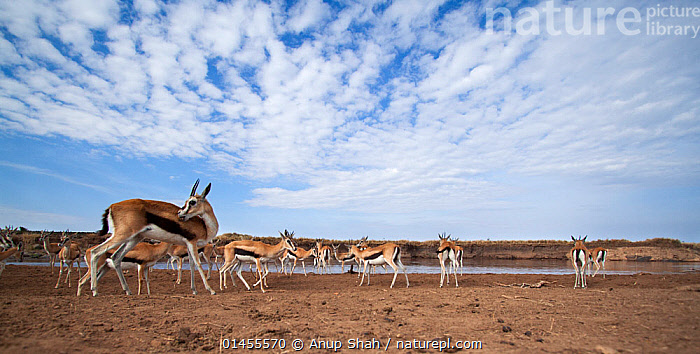 Thomson's gazelle (Eudorcas thomsonii) gathering at the Mara River. Masai Mara National Reserve, Kenya. Taken with remote wide angle camera.  ,  ANIMAL,VERTEBRATE,MAMMAL,BOVID,GAZELLE,THOMSON'S GAZELLE,ANIMALIA,ANIMAL,WILDLIFE,VERTEBRATE,CHORDATE,MAMMALIA,MAMMAL,ARTIODACTYLA,EVEN TOED UNGULATES,BOVIDAE,BOVID,RUMINANTIA,RUMINANT,EUDORCAS,GAZELLE,EUDORCAS THOMSONI,THOMSON'S GAZELLE,TOMMIE,MIGRATING,MIGRATION,GROUP OF ANIMALS,GROUP,GROUPS,HERD,HERDS,AFRICA,EAST AFRICA,EASTERN AFRICA,KENYA,LOW ANGLE SHOT,UPWARD VIEW,VIEW FROM BELOW,WIDE ANGLE,RIVERBANK,RIVERBANKS,CLOUD,CLOUDS,CLOUDY,FLOWING WATER,RIVER,RIVERS,FRESHWATER,WATER,HABITAT,ANIMAL BEHAVIOUR,BEHAVIOUR,LOW ANGLE VIEW,MASAI MARA,MASAI MARA GAME RESERVE,Weather  ,  Anup Shah