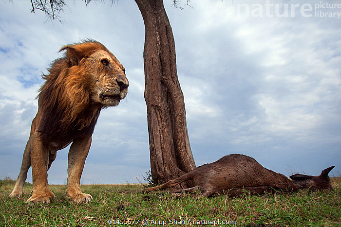 Lion (Panthera leo) old male with one eye standing next to a kill. Masai Mara National Reserve, Kenya. Taken with remote wide angle camera.  ,  catalogue6,Animal,Vertebrate,Mammal,Carnivore,Cat,Big cat,Lion,African lion,Animalia,Animal,Wildlife,Vertebrate,Chordate,Mammalia,Mammal,Carnivora,Carnivore,Felidae,Cat,Panthera,Big cat,Panthera leo,Guilt,Guilty,Regret,Regretfulness,Regrets,Old,Two,No One,Nobody,Tiredness,Africa,East Africa,Kenya,Low Angle View,Wide Angle,Male Animal,Plant,Tree Trunk,Outdoors,Open Air,Outside,Day,Animal Behaviour,Predation,Reserve,Lion,African lion,Behaviour,Maasai Mara,Protected area,Two animals,National Reserve,Prey,One Eye  ,  Anup Shah