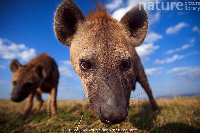 Spotted hyenas (Crocuta crocuta) approaching with curiosity. Masai Mara National Reserve, Kenya. Taken with remote wide angle camera.  ,  ANIMAL,VERTEBRATE,MAMMAL,CARNIVORE,HYAENA,SPOTTED HYAENAS,SPOTTED HYAENA,ANIMALIA,ANIMAL,WILDLIFE,VERTEBRATE,CHORDATE,MAMMALIA,MAMMAL,CARNIVORA,CARNIVORE,HYAENIDAE,HYAENA,HYENA,CROCUTA,SPOTTED HYAENAS,CROCUTA CROCUTA,SPOTTED HYAENA,LAUGHING HYAENA,CROCUTA CAPENSIS,CROCUTA CUVIERI,CROCUTA FISI,CURIOSITY,AFRICA,EAST AFRICA,EASTERN AFRICA,KENYA,CLOSE UPS,CLOSE UPS,LOW ANGLE SHOT,WIDE ANGLE,PORTRAIT,PORTRAITS,CLOUD,CLOUDS,CLOUDY,MASAI MARA,MASAI MARA GAME RESERVE,Weather,,Personal Point of View,  ,  Anup Shah