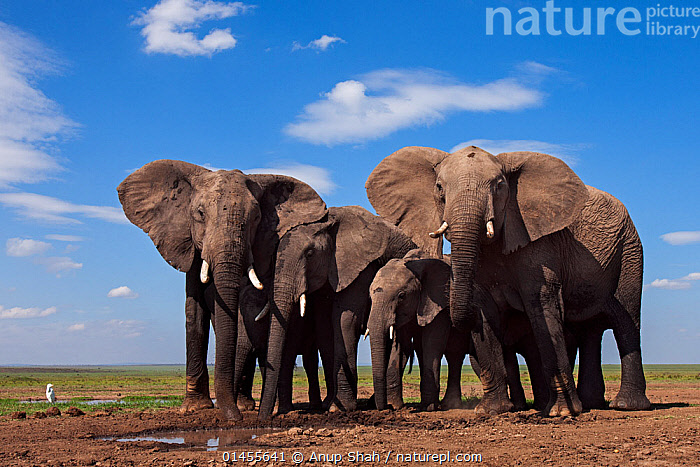 African elephants (Loxodonta africana) drinking at a waterhole. Masai Mara National Reserve, Kenya. Taken with remote wide angle camera., catalogue6,Animal,Vertebrate,Mammal,Elephant,African elephants,African elephant,Animalia,Animal,Wildlife,Vertebrate,Chordate,Mammalia,Mammal,Proboscidea,Elephantidae,Elephant,Loxodonta,African elephants,Loxodonta africana,African elephant,Standing,Curiosity,Protection,Togetherness,Close,Together,Herds,Group,Medium Group,No One,Nobody,Africa,East Africa,Kenya,Full Length,Full Lengths,Whole,Front View,View From Front,Wide Angle,Cloud,Freshwater,Habitat,Animal Behaviour,Drinking,Reserve,Family,Behaviour,Maasai Mara,Protected area,Direct Gaze,Five animals,National Reserve,Protector,Endangered species,threatened,Endangered, Anup Shah