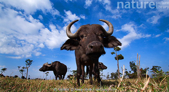 Cape buffalo (Syncerus caffer) young male approaching with curiosity. Masai Mara Nationa Reserve, Kenya. Taken with remote wide angle camera.  ,  high1314,Animal,Vertebrate,Mammal,Bovid,Buffalo,African buffalo,Animalia,Animal,Wildlife,Vertebrate,Mammalia,Mammal,Artiodactyla,Even-toed ungulates,Bovidae,Bovid,ruminantia,Ruminant,Syncerus,Buffalo,Syncerus caffer,African buffalo,Curiosity,Nosy,Nosey,Few,Three,Group,Nobody,Horned,Africa,East Africa,Kenya,Close Up,Front View,View From Front,Low Angle View,Wide Angle,Portrait,Male Animal,Plain,Plains,Sky,Cloud,Outdoors,Open Air,Outside,Day,Nature,Natural,Natural World,Wild,Savanna,Habitat,Reserve,Maasai Mara,Protected area,Horn,Direct Gaze,Three Animals,Personal point of view,National Reserve,Personal POV,,Personal Point of View,  ,  Anup Shah