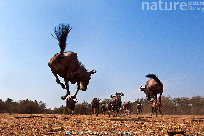 Eastern white-bearded wildebeest (Connochaetes taurinus) herd running. Masai Mara National Reserve, Kenya. Taken with remote wide angle camera.  ,  catalogue6,Animal,Vertebrate,Mammal,Bovid,Wildebeest,Blue & White bearded Wildebeest,Animalia,Animal,Wildlife,Vertebrate,Chordate,Mammalia,Mammal,Artiodactyla,Even toed ungulates,Bovidae,Bovid,ruminantia,Ruminant,Connochaetes,Wildebeest,Connochaetes taurinus,Blue & White bearded Wildebeest,Blue Wildebeest,Common Wildebeest,Migrating,Migration,Jumping,Moving After,Following,Follow,Follows,Running,Disappearing,Disappear,Energetic,Dynamic,Dynamism,Excitement,Enthusiasm,Enthusiastic,Excited,On The Move,Mid Air,Herds,Many,Group,Large Group,No One,Nobody,Africa,East Africa,Kenya,Low Angle View,Rear View,Back,From Behind,Wide Angle,Outdoors,Open Air,Outside,Day,Animal Behaviour,Behaviour,Maasai Mara,Moving,Energy  ,  Anup Shah