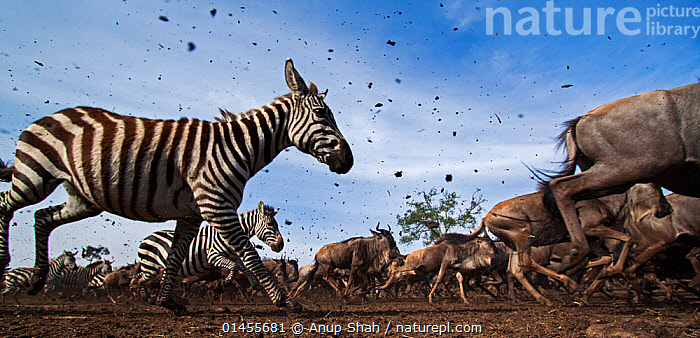 Common or plains zebra (Equus quagga burchelli) and Eastern white-bearded wildebeest (Connochaetes taurinus) mixed herd running. Masai Mara National Reserve, Kenya. Taken with remote wide angle camera.  ,  catalogue6,Animal,Vertebrate,Mammal,Bovid,Wildebeest,Blue & White bearded Wildebeest,Odd toed ungulate,Common Zebra,Animalia,Animal,Wildlife,Vertebrate,Chordate,Mammalia,Mammal,Artiodactyla,Even toed ungulates,Bovidae,Bovid,ruminantia,Ruminant,Connochaetes,Wildebeest,Connochaetes taurinus,Blue & White bearded Wildebeest,Blue Wildebeest,Common Wildebeest,Perissodactyla,Odd toed ungulate,Equidae,Equus,Equus quagga,Common Zebra,Burchell&#39,s Zebra,Painted Zebra,Plains Zebra,Equus burchelli,Migrating,Migration,Running,Speed,Urgency,Herds,Many,Group,Large Group,No One,Nobody,Pattern,Patterned,Patterns,Stripes,Africa,East Africa,Kenya,Profile,Panoramic,Close Up,Side View,Wide Angle,Cloud,Mud,Muddy,Outdoors,Open Air,Outside,Day,Animal Behaviour,Reserve,Behaviour,Maasai Mara,Protected area,Animal marking,National Reserve,Hurrying  ,  Anup Shah