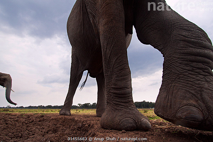 African elephant (Loxodonta africana) close-up. Masai Mara National Reserve, Kenya. Taken with remote wide angle camera.  ,  catalogue6,Animal,Vertebrate,Mammal,Elephant,African elephants,African elephant,Animalia,Animal,Wildlife,Vertebrate,Chordate,Mammalia,Mammal,Proboscidea,Elephantidae,Elephant,Loxodonta,African elephants,Loxodonta africana,African elephant,Curiosity,Two,No One,Nobody,Part Of,Size,Large,Big,Wrinkled,Shriveled,Shrivelled,Wrinkle,Wrinkles,Africa,East Africa,Kenya,Low Section,Low Sections,Close Up,Low Angle View,Unusual Angle,Wide Angle,Animal Limbs,Limb,Limbs,Animal Feet,Feet,Foot,Animal Legs,Legs,Leg,Cloud,Mud,Muddy,Outdoors,Open Air,Outside,Day,Reserve,Maasai Mara,Protected area,Two animals,National Reserve,Endangered species,threatened,Endangered,,Personal Point of View,  ,  Anup Shah
