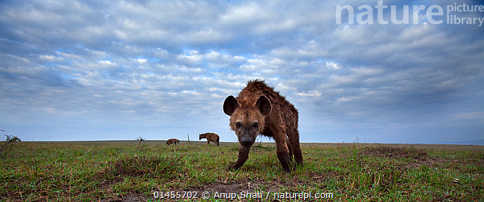 Spotted hyena (Crocuta crocuta) approaching with curiosity. Masai Mara National Reserve, Kenya. Taken with remote wide angle camera., ANIMAL,VERTEBRATE,MAMMAL,CARNIVORE,HYAENA,SPOTTED HYAENAS,SPOTTED HYAENA,ANIMALIA,ANIMAL,WILDLIFE,VERTEBRATE,CHORDATE,MAMMALIA,MAMMAL,CARNIVORA,CARNIVORE,HYAENIDAE,HYAENA,HYENA,CROCUTA,SPOTTED HYAENAS,CROCUTA CROCUTA,SPOTTED HYAENA,LAUGHING HYAENA,CROCUTA CAPENSIS,CROCUTA CUVIERI,CROCUTA FISI,CURIOSITY,AFRICA,EAST AFRICA,EASTERN AFRICA,KENYA,PANORAMIC,WIDE ANGLE,PORTRAIT,PORTRAITS,PLAIN,PLAINS,CLOUD,CLOUDS,CLOUDY,HABITAT,MASAI MARA,MASAI MARA GAME RESERVE,Weather, Anup Shah