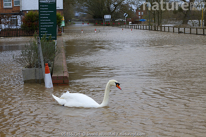 Mute swan (Cygnus olor) swimming out of petrol station in flooded  street during February 2014 floods, Upton upon Severn, Worcestershire, England, UK, 8th February 2014., ANIMAL,VERTEBRATE,BIRDS,WATERFOWL,TRUE SWAN,MUTE SWAN,ANIMALIA,ANIMAL,WILDLIFE,VERTEBRATE,CHORDATE,AVES,BIRDS,ANSERIFORMES,WATERFOWL,FOWL,GALLOANSERANS,ANATIDAE,CYGNUS,TRUE SWAN,SWAN,CYGNINAE,ANSERINAE,CYGNUS OLOR,MUTE SWAN,EUROPE,WESTERN EUROPE,WEST EUROPE,UK,BRITAIN,GREAT BRITAIN,UNITED KINGDOM,ENGLAND,WORCESTERSHIRE,FLOODED,FLOODING,FLOODS,FLOODWATER,FLOODWATERS,WATER,WEATHER,ENVIRONMENT,ENVIRONMENTAL ISSUES,ENVIRONMENTAL ISSUE,GLOBAL WARMING,GREENHOUSE EFFECT,CLIMATE CHANGE,WATERFOWLS,WILDFOWL,WILDFOWLS), David  Woodfall
