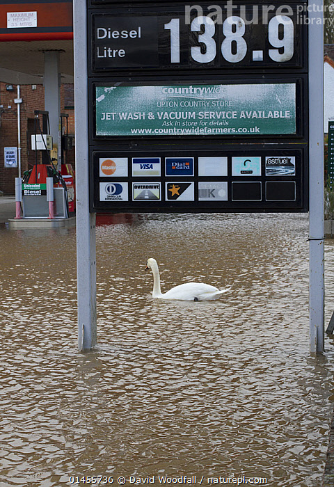 Mute swan (Cygnus olor) swimming in flooded petrol station during February 2014 floods, Upton upon Severn, Worcestershire, England, UK, 8th February 2014., ANIMAL,VERTEBRATE,BIRDS,WATERFOWL,TRUE SWAN,MUTE SWAN,ANIMALIA,ANIMAL,WILDLIFE,VERTEBRATE,CHORDATE,AVES,BIRDS,ANSERIFORMES,WATERFOWL,FOWL,GALLOANSERANS,ANATIDAE,CYGNUS,TRUE SWAN,SWAN,CYGNINAE,ANSERINAE,CYGNUS OLOR,MUTE SWAN,EUROPE,WESTERN EUROPE,WEST EUROPE,UK,BRITAIN,GREAT BRITAIN,UNITED KINGDOM,ENGLAND,WORCESTERSHIRE,BUILDINGS,TERMINAL,TERMINALS,TRANSPORTATION BUILDING,GARAGE,GARAGES,GAS STATION,PETROL STATIONS,FLOODED,FLOODING,FLOODS,FLOODWATER,FLOODWATERS,WATER,WEATHER,ENVIRONMENT,ENVIRONMENTAL ISSUES,ENVIRONMENTAL ISSUE,GLOBAL WARMING,GREENHOUSE EFFECT,CLIMATE CHANGE,WATERFOWLS,WILDFOWL,WILDFOWLS), David  Woodfall