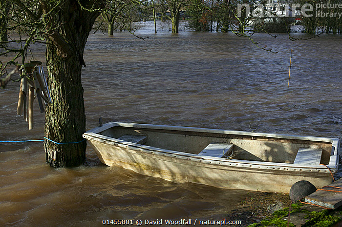 Boat in flood tethered to apple tree in garden submerged by February 2014 flooding, Upton upon Severn, Worcestershire, England, UK, 8th February 2014., GARDENS,BOAT,BOATS,FLOODED,FLOODING,FLOODS,FLOODWATER,FLOODWATERS,WATER,WEATHER,ENVIRONMENT,ENVIRONMENTAL ISSUES,ENVIRONMENTAL ISSUE,GLOBAL WARMING,GREENHOUSE EFFECT,OPEN BOAT,OPEN BOAT,OPEN BOATS,CLIMATE CHANGE,Europe,United Kingdom, David  Woodfall