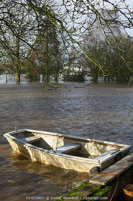 Boat in flood tethered to apple tree in garden submerged by February 2014 flooding, Upton upon Severn, Worcestershire, England, UK, 8th February 2014.  ,  GARDENS,BOAT,BOATS,FLOODED,FLOODING,FLOODS,FLOODWATER,FLOODWATERS,WATER,WEATHER,ENVIRONMENT,ENVIRONMENTAL ISSUES,ENVIRONMENTAL ISSUE,GLOBAL WARMING,GREENHOUSE EFFECT,OPEN BOAT,OPEN BOAT,OPEN BOATS,CLIMATE CHANGE,Europe,United Kingdom  ,  David  Woodfall