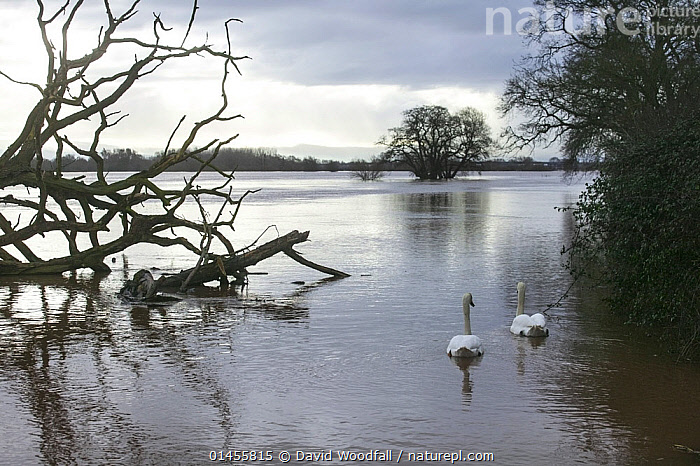 Mute Swan (Cygnus olor) pair in flooded agricultural land adjacent to River Severn, 10th February 2014., ANIMAL,VERTEBRATE,BIRDS,WATERFOWL,TRUE SWAN,MUTE SWAN,ANIMALIA,ANIMAL,WILDLIFE,VERTEBRATE,CHORDATE,AVES,BIRDS,ANSERIFORMES,WATERFOWL,FOWL,GALLOANSERANS,ANATIDAE,CYGNUS,TRUE SWAN,SWAN,CYGNINAE,ANSERINAE,CYGNUS OLOR,MUTE SWAN,2 ANIMALS,EUROPE,WESTERN EUROPE,WEST EUROPE,UK,BRITAIN,GREAT BRITAIN,UNITED KINGDOM,ENGLAND,WORCESTERSHIRE,CULTIVATED LAND,FIELDS,LIGHT,LIGHTS,LIGHT EFFECT,REFLECTION,MIRROR IMAGE,MIRROR IMAGES,REFLECT,REFLECTED,REFLECTING,REFLECTIONS,REFLECTIVE,FLOODED,FLOODING,FLOODS,FLOODWATER,FLOODWATERS,WEATHER,ENVIRONMENT,ENVIRONMENTAL ISSUES,ENVIRONMENTAL ISSUE,GLOBAL WARMING,GREENHOUSE EFFECT,FARMLAND,CLIMATE CHANGE,WATERFOWLS,WILDFOWL,WILDFOWLS), David  Woodfall