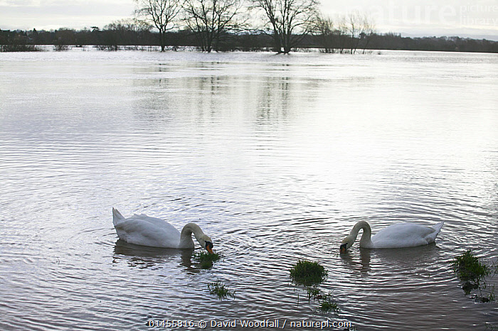 Mute Swan (Cygnus olor) pair feeding in flooded agricultural land adjacent to River Severn, 10th February 2014., ANIMAL,VERTEBRATE,BIRDS,WATERFOWL,TRUE SWAN,MUTE SWAN,ANIMALIA,ANIMAL,WILDLIFE,VERTEBRATE,CHORDATE,AVES,BIRDS,ANSERIFORMES,WATERFOWL,FOWL,GALLOANSERANS,ANATIDAE,CYGNUS,TRUE SWAN,SWAN,CYGNINAE,ANSERINAE,CYGNUS OLOR,MUTE SWAN,2 ANIMALS,EUROPE,WESTERN EUROPE,WEST EUROPE,UK,BRITAIN,GREAT BRITAIN,UNITED KINGDOM,ENGLAND,WORCESTERSHIRE,CULTIVATED LAND,FIELDS,LIGHT,LIGHTS,LIGHT EFFECT,REFLECTION,MIRROR IMAGE,MIRROR IMAGES,REFLECT,REFLECTED,REFLECTING,REFLECTIONS,REFLECTIVE,FLOODED,FLOODING,FLOODS,FLOODWATER,FLOODWATERS,WEATHER,ENVIRONMENT,ENVIRONMENTAL ISSUES,ENVIRONMENTAL ISSUE,GLOBAL WARMING,GREENHOUSE EFFECT,ANIMAL BEHAVIOUR,FEEDING,BEHAVIOUR,FEEDS,EATING,EATS,EAT,FEED,FARMLAND,CLIMATE CHANGE,WATERFOWLS,WILDFOWL,WILDFOWLS), David  Woodfall