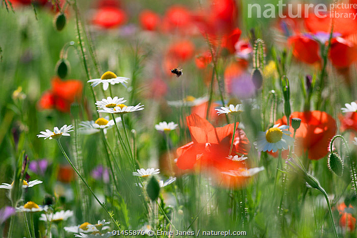 RF- Bumblebee (Bombus) in flight amongst flowering Field poppies (Papaver rhoeas) and Ox-eye daisies (Leucanthemum vulgare). Chiltern Hills, Area Of Natural Beauty, Buckinghamshire, England, UK. June.  ,  Plant,Vascular plant,Flowering plant,Dicot,Poppy,Common poppy,Asterid,Daisy,Oxeye daisy,Animal,Arthropod,Insect,Bee,Bumblebee,Plantae,Plant,Tracheophyta,Vascular plant,Magnoliopsida,Flowering plant,Angiosperm,Seed plant,Spermatophyte,Spermatophytina,Angiospermae,Ranunculales,Dicot,Dicotyledon,Ranunculanae,Papaveraceae,Fumariaceae,Papaver,Poppy,Stylomecon,Papaver rhoeas,Common poppy,Corn poppy,Field poppy,Red poppy,Asterales,Asterid,Asteranae,Asteraceae,Compositae,Leucanthemum,Daisy,Leucanthemum vulgare,Oxeye daisy,Ox eye daisy,Oxeyedaisy,Marguerite,Leucanthemum praecox,Chrysanthemum ircutiana,Chrysanthemum leucanthemum,Animalia,Animal,Wildlife,Hexapoda,Arthropod,Invertebrate,Hexapod,Arthropoda,Insecta,Insect,Hymenoptera,Hymenopterans,Apidae,Bee,Apid bee,Apoidea,Apocrita,Bombus,Bumblebee,Bumble bee,Flying,Variation,Colour,Red,White,Nobody,Europe,Western Europe,UK,Great Britain,England,Buckinghamshire,Close Up,Camera Focus,Selective Focus,Wildflower,Wildflowers,Flower,Outdoors,Season,Summer,Beautiful,Grassland,Meadow,Wildflower Meadow,Shallow depth of field,Low depth of field,Chilterns,RF,Royalty free,RFCAT1,RF17Q1,  ,  Ernie  Janes