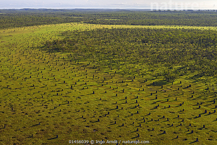 Magnetic termite (Amitermes meridionalis) aerial view of mounds in grassland, Litchfield National Park, Northern Territory, Australia.  For sale in the UK only.  ,  ANIMAL,ARTHROPOD,INSECT,NEOPTERA,TERMITE,MAGNETIC TERMITE,ANIMALIA,ANIMAL,WILDLIFE,HEXAPODA,ARTHROPOD,INVERTEBRATE,HEXAPOD,ARTHROPODA,INSECTA,INSECT,DICTYOPTERA,NEOPTERA,PTERYGOTA,TERMITE,BLATTODEA,AERIAL VIEW,AERIAL SHOTS,AERIALS,BIRDS EYE VIEW,NEST,NESTS,TERMITE MOUND,TERMITE MOUNDS,LANDSCAPE,LANDSCAPES,SCENIC,HABITAT,NP,MAGNETIC TERMITE,National Park ,bookplate,architektier,animal architecture, ,animal architecture,,Compass Termite  ,  Ingo Arndt