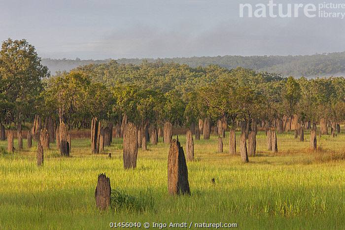 Magnetic termite (Amitermes meridionalis) mounds in grassland, Litchfield National Park, Northern Territory, Australia.  For sale in the UK only.  ,  ANIMAL,ARTHROPOD,INSECT,NEOPTERA,TERMITE,MAGNETIC TERMITE,ANIMALIA,ANIMAL,WILDLIFE,HEXAPODA,ARTHROPOD,INVERTEBRATE,HEXAPOD,ARTHROPODA,INSECTA,INSECT,DICTYOPTERA,NEOPTERA,PTERYGOTA,TERMITE,BLATTODEA,NEST,NESTS,TERMITE MOUND,TERMITE MOUNDS,LANDSCAPE,LANDSCAPES,SCENIC,HABITAT,NP,MAGNETIC TERMITE,National Park ,bookplate,architektier,animal architecture, ,animal architecture,,Compass Termite  ,  Ingo Arndt