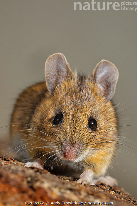 RF- House mouse (Mus musculus) close-up portrait. Southern Norway. January. (This image may be licensed either as rights managed or royalty free.)  ,  Animal,Vertebrate,Mammal,Rodent,Mouse,House mouse,Animalia,Animal,Wildlife,Vertebrate,Mammalia,Mammal,Rodentia,Rodent,Muridae,Mus,Mouse,Mus musculus,House mouse,Cute,Adorable,Nobody,Worried,Europe,Northern Europe,North Europe,Nordic Countries,Scandinavia,Norway,Copy Space,Vertical,Close Up,Front View,Portrait,Animal Nose,Outdoors,Day,Nature,Wild,Whiskers,Direct Gaze,Negative space,RF,Royalty free,RFCAT1,RF17Q1,  ,  Andy Trowbridge