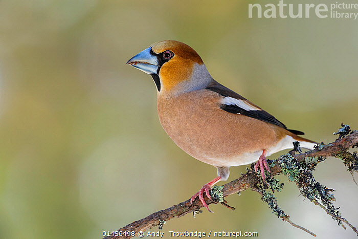 Hawfinch (Coccothraustes coccothraustes) perched on lichen covered branch. Southern Norway, February.  ,  ANIMAL,VERTEBRATE,BIRDS,SONGBIRD,TRUE FINCH,HOLARCTIC GROSBEAK,HAWFINCH,ANIMALIA,ANIMAL,WILDLIFE,VERTEBRATE,CHORDATE,AVES,BIRDS,PASSERIFORMES,SONGBIRD,FRINGILLIDAE,TRUE FINCH,COCCOTHRAUSTES,HOLARCTIC GROSBEAK,COCCOTHRAUSTES COCCOTHRAUSTES,HAWFINCH,EUROPE,NORTHERN EUROPE,NORTH EUROPE,NORDIC COUNTRIES,SCANDINAVIA,NORWAY,PROFILE  ,  Andy  Trowbridge