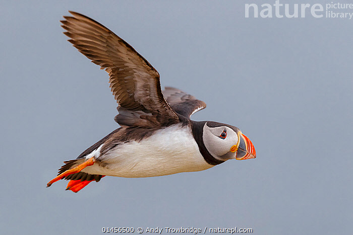 RF- Puffin (Fratercula arctica) in flight. Fair Island, Shetland Islands, Scotland, July. (This image may be licensed either as rights managed or royalty free.)  ,  Animal,Vertebrate,Bird,Auk,Puffin,Atlantic puffin,Animalia,Animal,Wildlife,Vertebrate,Aves,Bird,Charadriiformes,Alcidae,Auk,Fratercula,Puffin,Fratercula arctica,Atlantic puffin,Flying,Direction,Nobody,Worried,Europe,Western Europe,UK,Great Britain,Scotland,Shetland,Copy Space,Profile,Close Up,Side View,Wing,Sky,Clear Sky,Outdoors,Day,Nature,Wild,Wings spread,Wingspan,Negative space,Purpose,RF,Royalty free,RFCAT1,RF17Q1,  ,  Andy Trowbridge