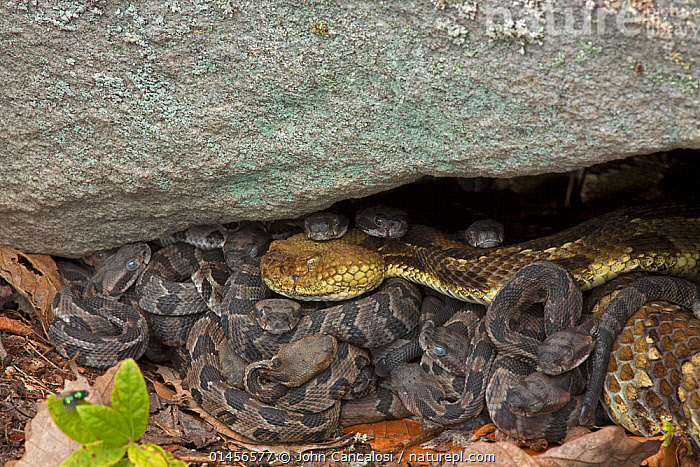 Timber Rattlesnakes (Crotalus horridus) new-born young with adult, Pennsylvania, USA, September., ANIMAL,VERTEBRATE,REPTILE,SQUAMATE,VIPER,RATTLESNAKE,TIMBER RATTLESNAKE,ANIMALIA,ANIMAL,WILDLIFE,VERTEBRATE,CHORDATE,REPTILIA,REPTILE,SQUAMATA,SQUAMATE,VIPERIDAE,VIPER,VIPERID SNAKES,SNAKE,CROTALUS,RATTLESNAKE,RATTLER,PITVIPER,PIT VIPER,CROTALUS HORRIDUS,TIMBER RATTLESNAKE,CROTALUS ATRICAUDATUS,CROTALUS HORRIDUS HORRIDUS,NORTH AMERICA,USA,EASTERN USA,MID ATLANTIC US,PENNSYLVANIA,YOUNG ANIMAL,JUVENILE,BABIES,FEMALE ANIMAL,YOUNG,VENOMOUS, John Cancalosi