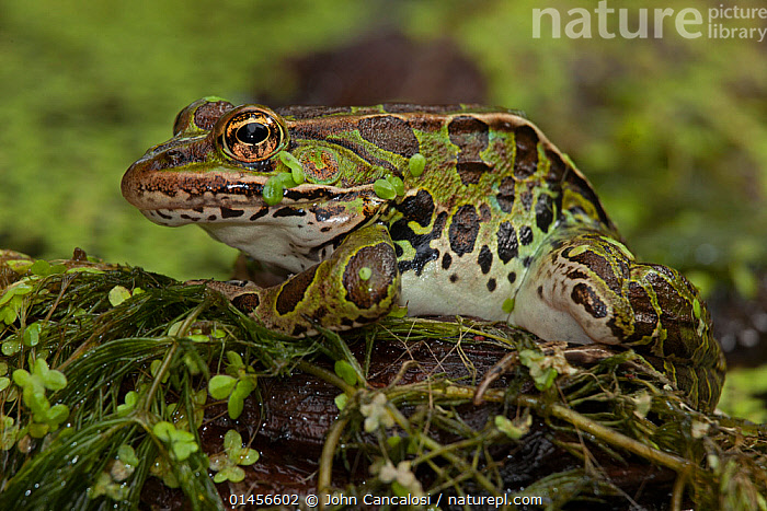 Leopard frog (Lithobates pipiens) covered in pond weed, New York, USA, August.  ,  ANIMAL,VERTEBRATE,FROG,NORTHERN LEOPARD FROG,ANIMALIA,ANIMAL,WILDLIFE,VERTEBRATE,CHORDATE,AMPHIBIA,ANURA,FROG,RANIDAE,LITHOBATES,LITHOBATES PIPIENS,NORTHERN LEOPARD FROG,RANA PIPIENS,NORTH AMERICA,USA,EASTERN USA,MID ATLANTIC US,NEW YORK,PLANT,PLANTS,ARALE,ARALES,ARALIA,DUCKWEED,DUCKWEEDS,LEMNACEAE,POND WEED,POND WEEDS,FRESHWATER,WATER,TEMPERATE  ,  John Cancalosi