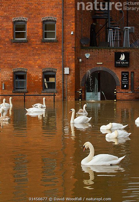 Mute Swans  (Cygnus olor) swimming in Worcester city centre, during February 2014 floods, Worcester, England, UK, 10th February 2014.  ,  catalogue6,Animal,Vertebrate,Birds,Water fowl,Waterfowl,True swan,Mute swan,Animalia,Animal,Wildlife,Vertebrate,Chordate,Aves,Birds,Anseriformes,Water fowl,Galloanserans,Waterfowl,Anatidae,Cygnus,True swan,Swan,Cygninae,Anserinae,Cygnus olor,Mute swan,Bizarre,Out Of Context,Lost,Many,Group,Large Group,No One,Nobody,Europe,Western Europe,UK,Great Britain,England,Worcestershire,Worcester,City,Building,Building Exterior,Window,Window Pane,Window Panes,Windows,Construction Material,Brick,Bricks,Flood,Weather,Outdoors,Open Air,Outside,Day,Environment,Environmental Issues,Global Warming,Greenhouse Effect,Climate change,Wildfowl,United Kingdom,,urban,  ,  David  Woodfall