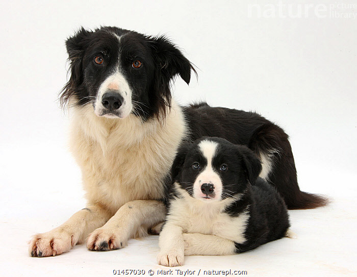 RF- Black-and-white Border Collie bitch, Phoebe, and pup, 6 weeks, against white background. (This image may be licensed either as rights managed or royalty free.)  ,  Canis familiaris,Sadness,Colour,Black,White,Side By Side,Two,Nobody,Cutout,Plain Background,White Background,Horizontal,Portrait,Animal,Young Animal,Juvenile,Babies,Baby Mammal,Puppy,Female animal,Bitch,Bitches,Indoors,Studio Shot,Domestic animal,Pet,Family,Mother baby,Mother-baby,mother,Domestic Dog,Pastoral Dog,Medium dog,Border Collie,Collie,Domesticated,Canis familiaris,Dog,Two animals,Direct Gaze,Parent baby,Mammal,RF,Royalty free,RFCAT1,RF17Q1,  ,  Mark Taylor