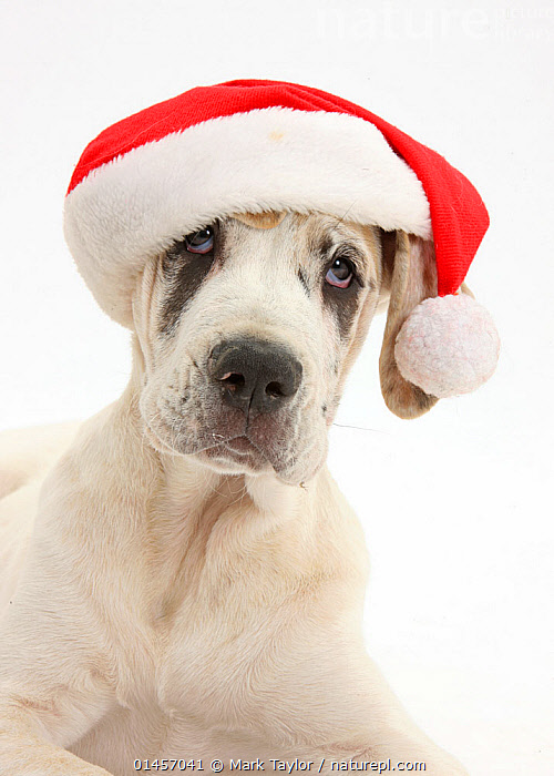 Great Dane pup, Tia, 14 weeks, lying with head up, wearing a Father Christmas hat, against white background  ,  CANIS FAMILIARIS,HUMOROUS,FACIAL EXPRESSION,CUTOUT,PLAIN BACKGROUND,WHITE BACKGROUND,VERTICAL,PORTRAIT,ANIMAL,YOUNG ANIMAL,JUVENILE,BABIES,BABY MAMMAL,BABY MAMMALS,PUPPY,PUPPIES,DOMESTIC ANIMAL,PET,DOMESTIC DOG,WORKING DOG,EXTRA LARGE DOG,GREAT DANE,DOMESTIC ANIMALS,YOUNG,DOMESTICATED,CANIS FAMILIARIS,DOG,Concepts  ,  Mark Taylor