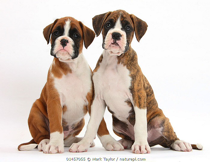 Boxer puppies, 8 weeks, sitting, against white background, CANIS FAMILIARIS,TWO,CUTOUT,PLAIN BACKGROUND,WHITE BACKGROUND,HORIZONTAL,PORTRAIT,ANIMAL,YOUNG ANIMAL,JUVENILE,BABIES,BABY MAMMAL,BABY MAMMALS,PUPPY,PUPPIES,DOMESTIC ANIMAL,PET,2,DOMESTIC DOG,WORKING DOG,LARGE DOG,DOMESTIC ANIMALS,YOUNG,BOXER,DOMESTICATED,CANIS FAMILIARIS,DOG, Mark Taylor