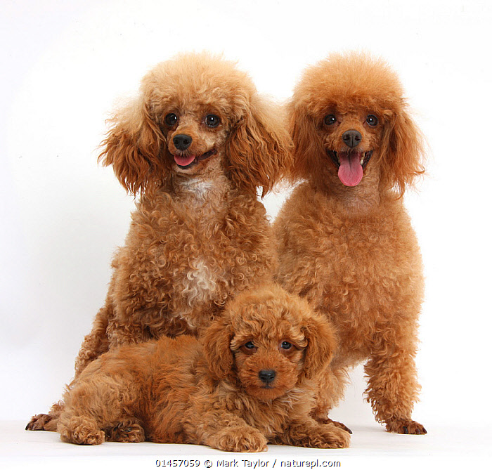 RF- Red Toy Poodle dog, Reggie, with bitch and puppy, against white background. (This image may be licensed either as rights managed or royalty free.), Canis familiaris,Excitement,Eagerness,Enthusiasm,Enthusiastic,Excited,Few,Three,Group,Nobody,Fluffy,Cutout,Plain Background,White Background,Square Image,Portrait,Animal,Young Animal,Juvenile,Babies,Baby Mammal,Puppy,Female animal,Bitch,Bitches,Indoors,Studio Shot,Animal Behaviour,Thermoregulation,Panting,Domestic animal,Pet,Family,Mother baby,Behaviour,Mother-baby,mother,Domestic Dog,Utility Dog,Poodle,Domesticated,Canis familiaris,Dog,Direct Gaze,Parent baby,Three Animals,Mammal,RF,Royalty free,RFCAT1,RF17Q1,, Mark Taylor