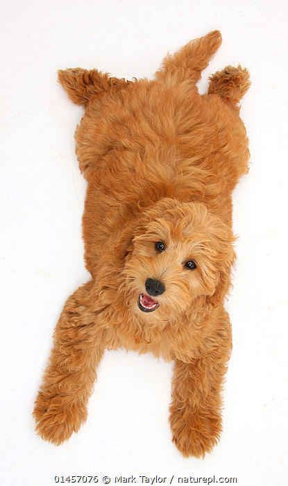Cute red toy Goldendoodle puppy, Flicker, 12 weeks, lying sprawled out and looking up, against white background, CANIS FAMILIARIS,RESTING,REST,CUTE,ADORABLE,CUTOUT,PLAIN BACKGROUND,WHITE BACKGROUND,VERTICAL,HIGH ANGLE SHOT,PORTRAIT,ANIMAL,YOUNG ANIMAL,JUVENILE,BABIES,BABY MAMMAL,BABY MAMMALS,PUPPY,PUPPIES,CROSSBREED,CROSSBREEDS,MIXED BREED,MIXED BREEDS,DOMESTIC ANIMAL,PET,DOMESTIC DOG,DOMESTIC ANIMALS,YOUNG,DOMESTICATED,DESIGNER BREEDS,POODLE CROSS,GOLDENDOODLE,CANIS FAMILIARIS,DOG, Mark Taylor