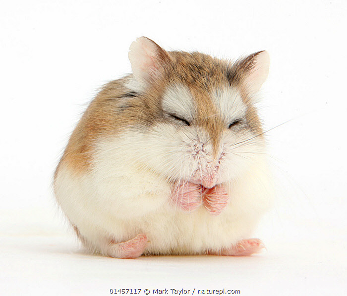 Roborovski Hamster (Phodopus roborovskii) asleep sitting up, against white background, RESTING,REST,SLEEPING,SNOOZING,CUTE,ADORABLE,CUTOUT,PLAIN BACKGROUND,WHITE BACKGROUND,HORIZONTAL,PORTRAIT,ANIMAL,DOMESTIC ANIMAL,PET,DOMESTIC ANIMALS,DOMESTICATED,DOMESTIC HAMSTER,HAMSTER, Mark Taylor