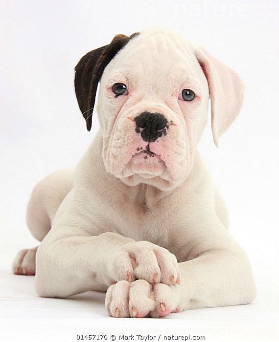 Black eared white Boxer puppy, lying with head up and crossed paws, against white background, catalogue7,Canis familiaris,Gesturing,Hands Clasped,Clasped Hands,White,Nobody,Serious,Cutout,Plain Background,White Background,Vertical,Close Up,Portrait,Animal,Young Animal,Juvenile,Babies,Baby Mammal,Puppy,Animal Limbs,Limb,Limbs,Animal Feet,Feet,Foot,Paw,Paws,Indoors,Studio Shot,Studio Shots,Domestic animal,Pet,Domestic Dog,Working Dog,Large dog,Boxer,Canis familiaris,Dog,Direct Gaze,White colour,Unimpressed,Animal portrait,Mammal, Mark Taylor