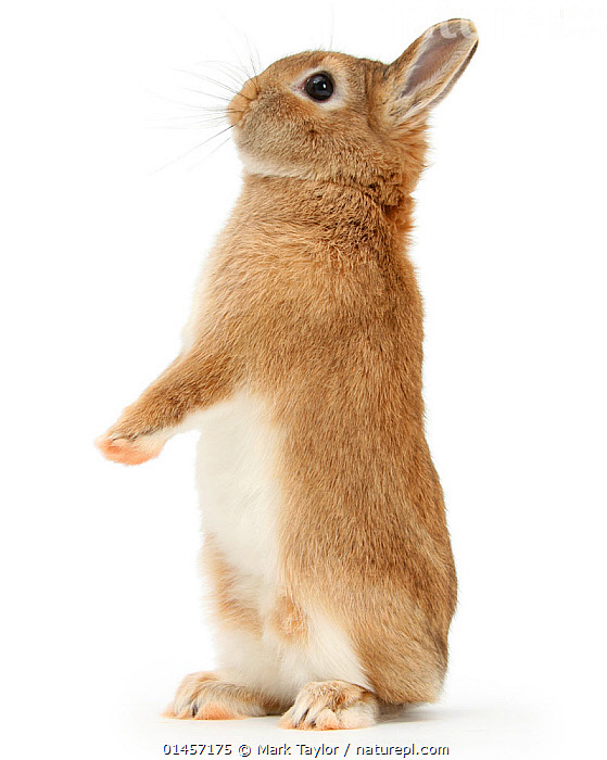 Sandy Netherland dwarf-cross rabbit, Peter, standing up, against white background [], ORYCTOLAGUS CUNICULUS,STANDING,STAND,CUTE,ADORABLE,CUTOUT,PLAIN BACKGROUND,WHITE BACKGROUND,VERTICAL,PORTRAIT,ANIMAL,DOMESTIC ANIMAL,PET,DOMESTIC RABBIT,DOMESTIC ANIMALS,DOMESTICATED,ORYCTOLAGUS CUNICULUS,BUNNY,CROSSBREED, Mark Taylor