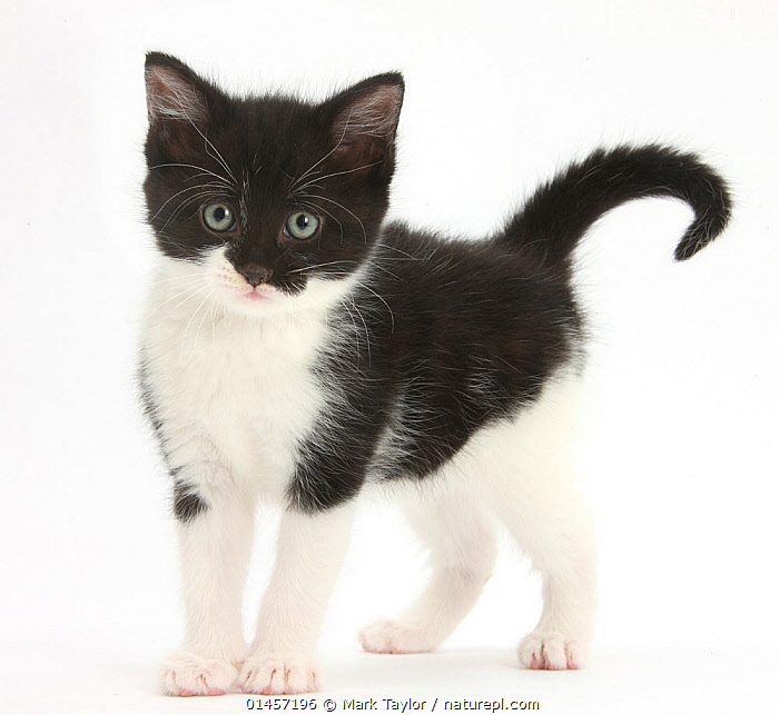 Black-and-white kitten standing, against white background DIGITALLY ENHANCED, high1314,Felis catus,Anxiety,Caution,Cautious,Cute,Adorable,Apprehensive,Rejection,Sadness,Black,White,Nobody,Pattern,Patterned,Patterns,Worried,Cutout,Plain Background,White Background,Image Manipulation,Digital Enhancement,Square Image,Portrait,Animal,Young Animal,Juvenile,Babies,Baby Mammal,Kitten,Kittens,Indoors,Studio Shot,Studio Shots,Outdoors,Open Air,Outside,Day,Domestic animal,Pet,Domestic Cat,Cats,Felis catus,Cat,Direct Gaze,Animal marking,White colour, Mark Taylor